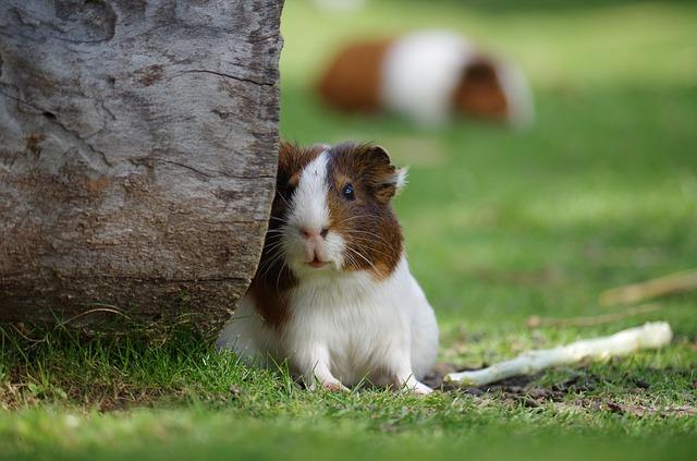 guinea-pig-2513177_640.jpg